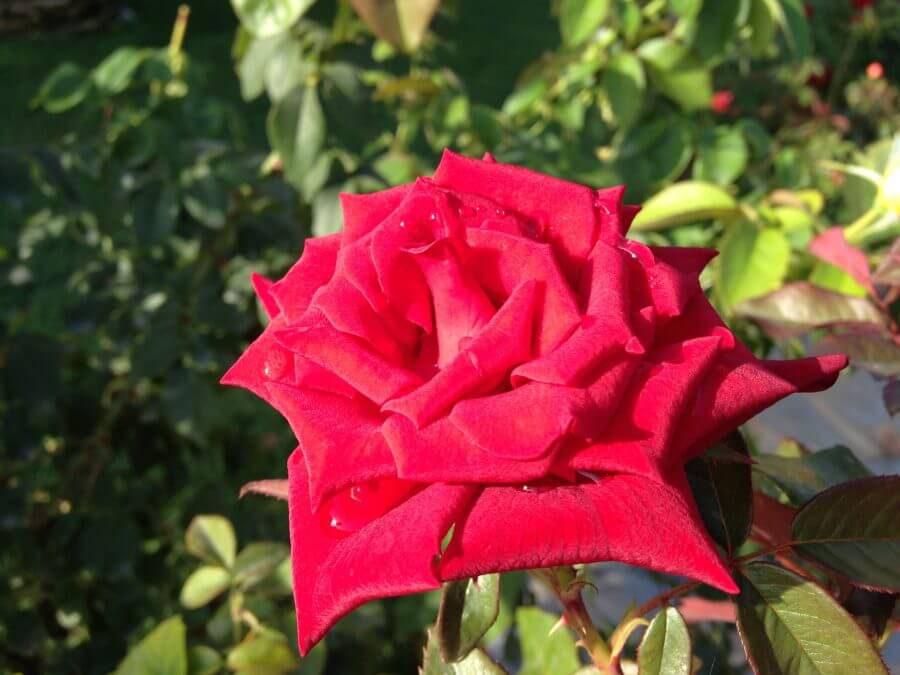 Juhuu – Det er mandag. Ros og roser